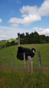 Te Araroa Trail Ostrich