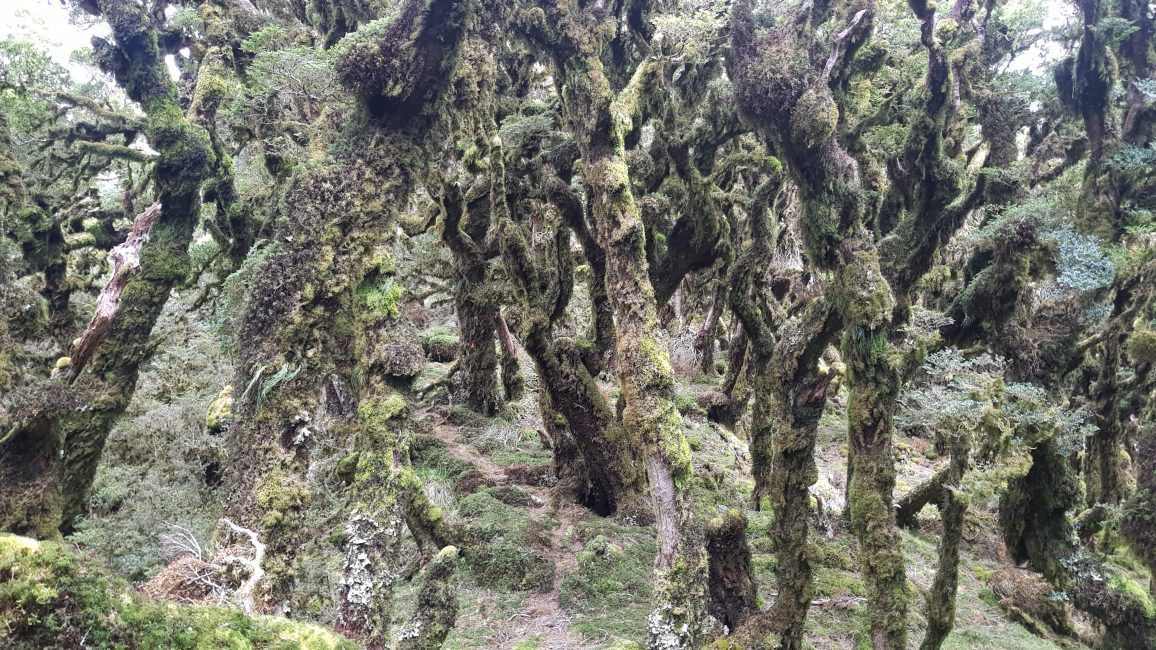Te Araroa Trail Day 63 - Mossy forests of the Tararuas