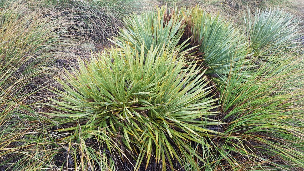 Te Araroa Trail Day 92 - Speargrass
