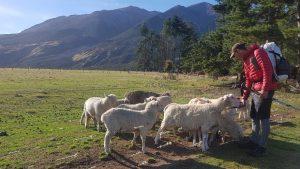Te Araroa Trail Day 134 - Sheep! Cora Lynn Road