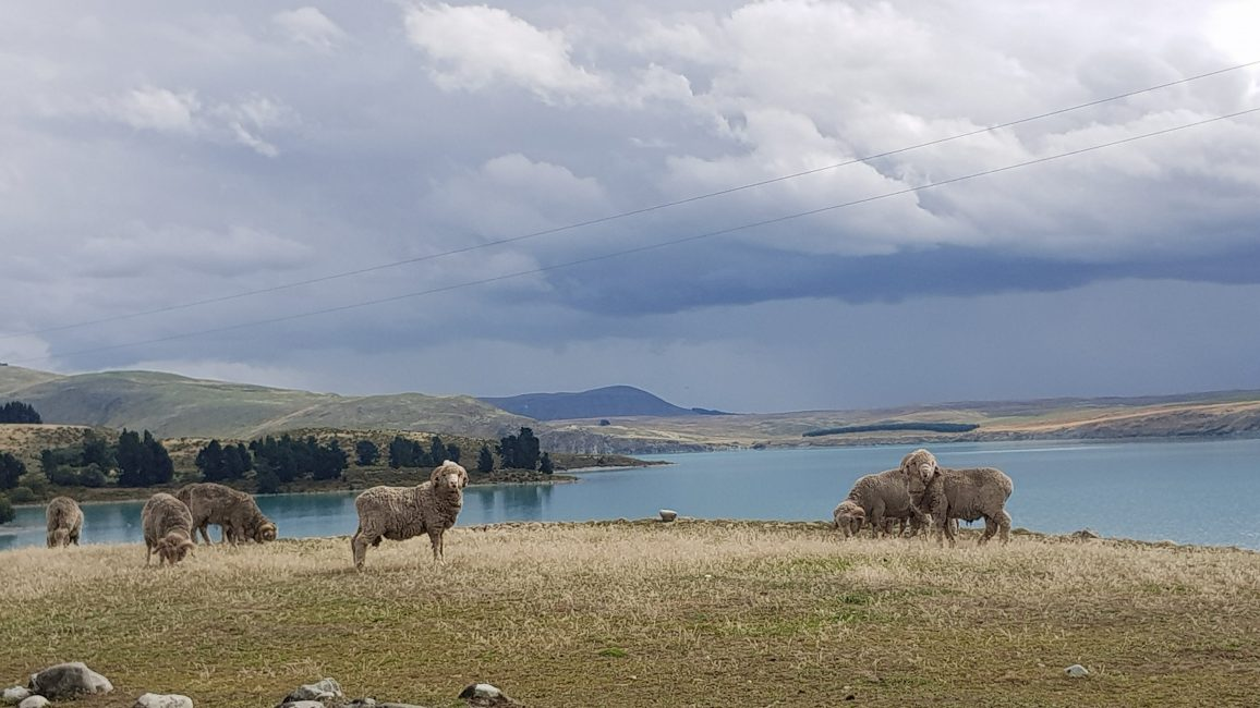 Te Araroa Trail Day 140 - Sheep Lake Tekapo