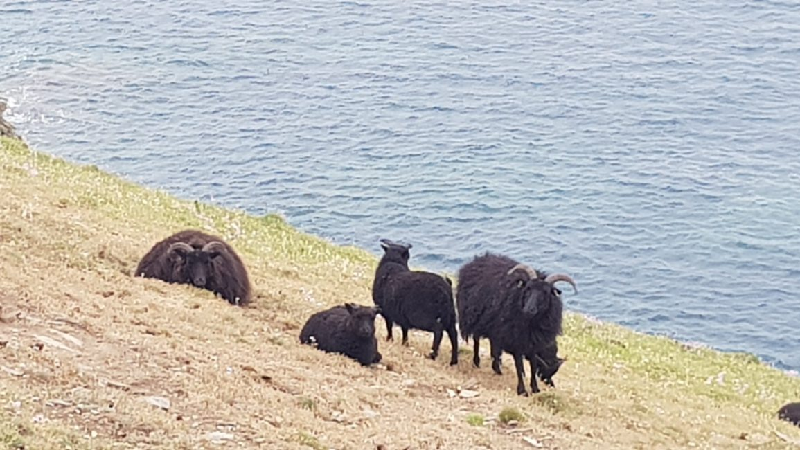 Horned sheep on Baggy Point