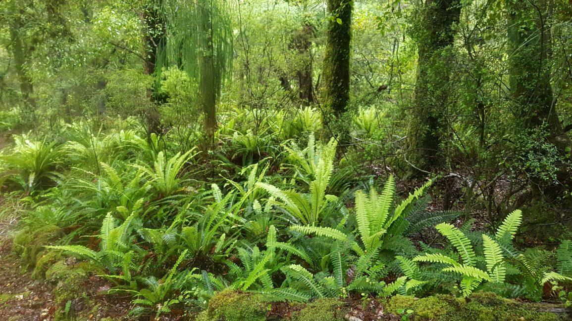 Ferns between Rocks hut and Browning hut