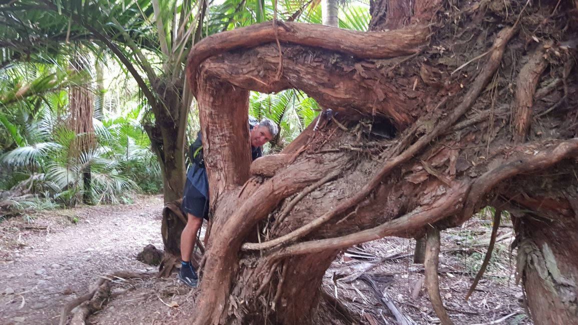 Beautiful twisted, rata trees line the Heaphy track