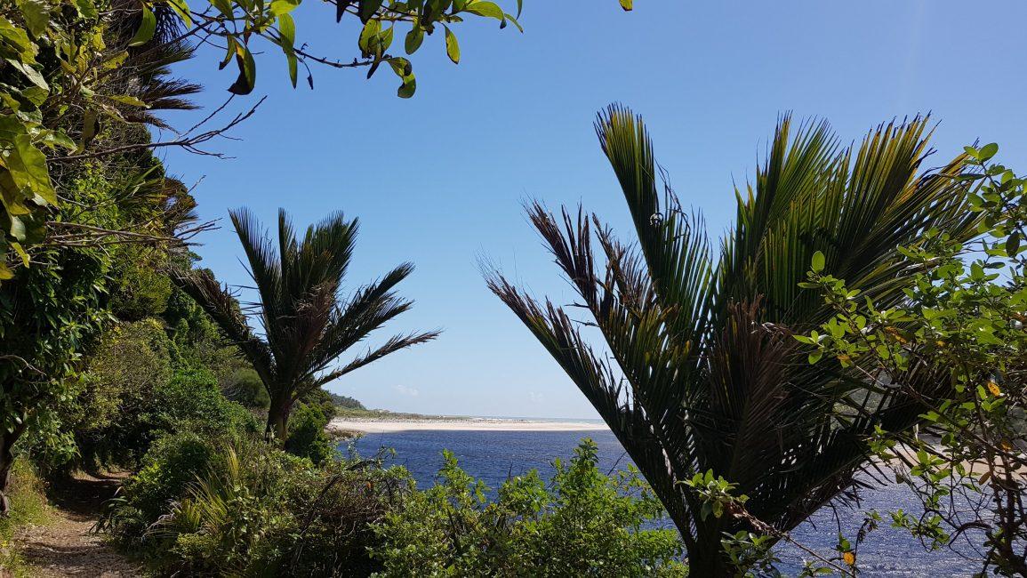 Nikau palms along the Heaphy river