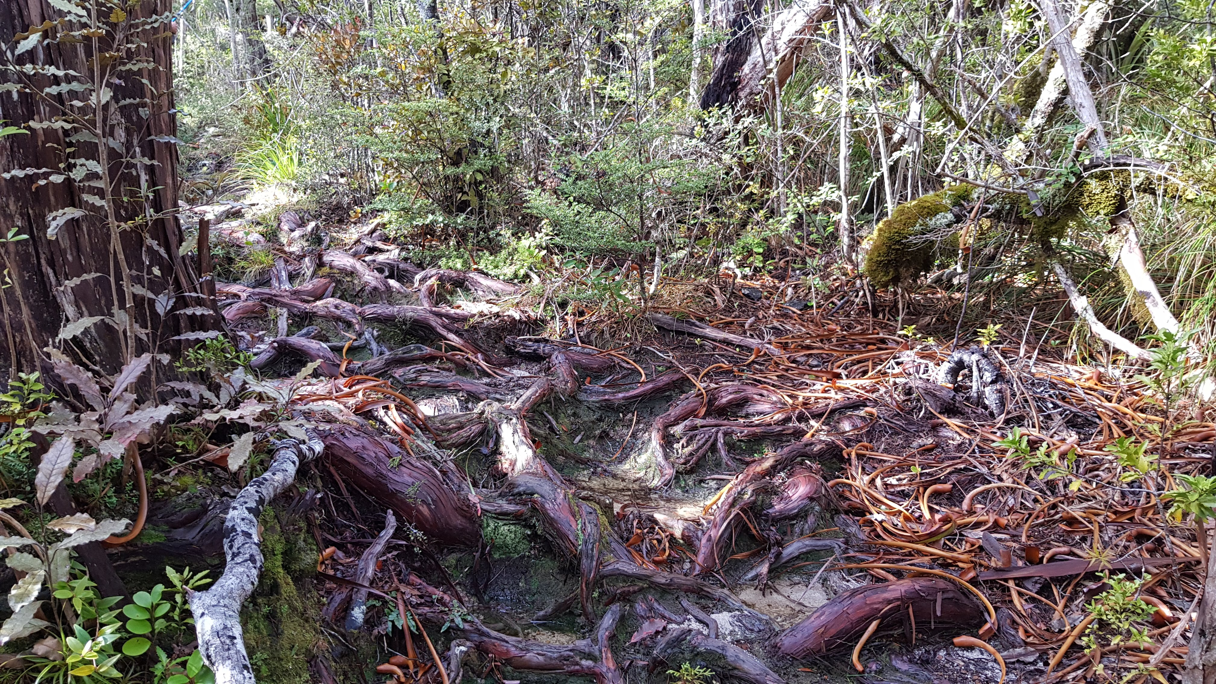 Dracophyllum roots on the Moa Park Track