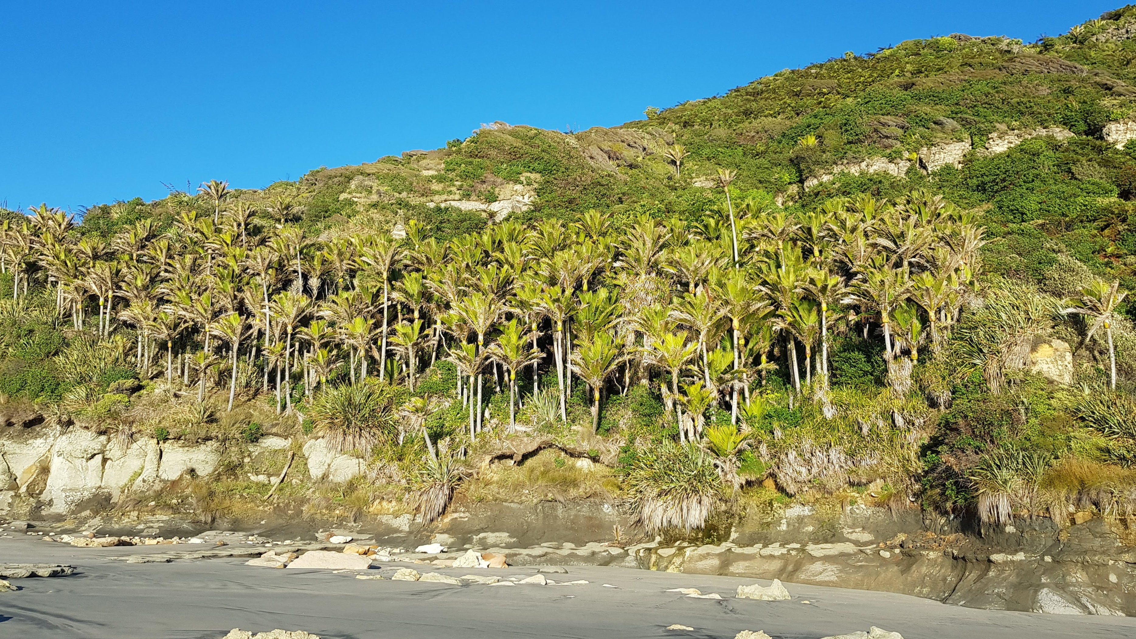 Nikau palm grove