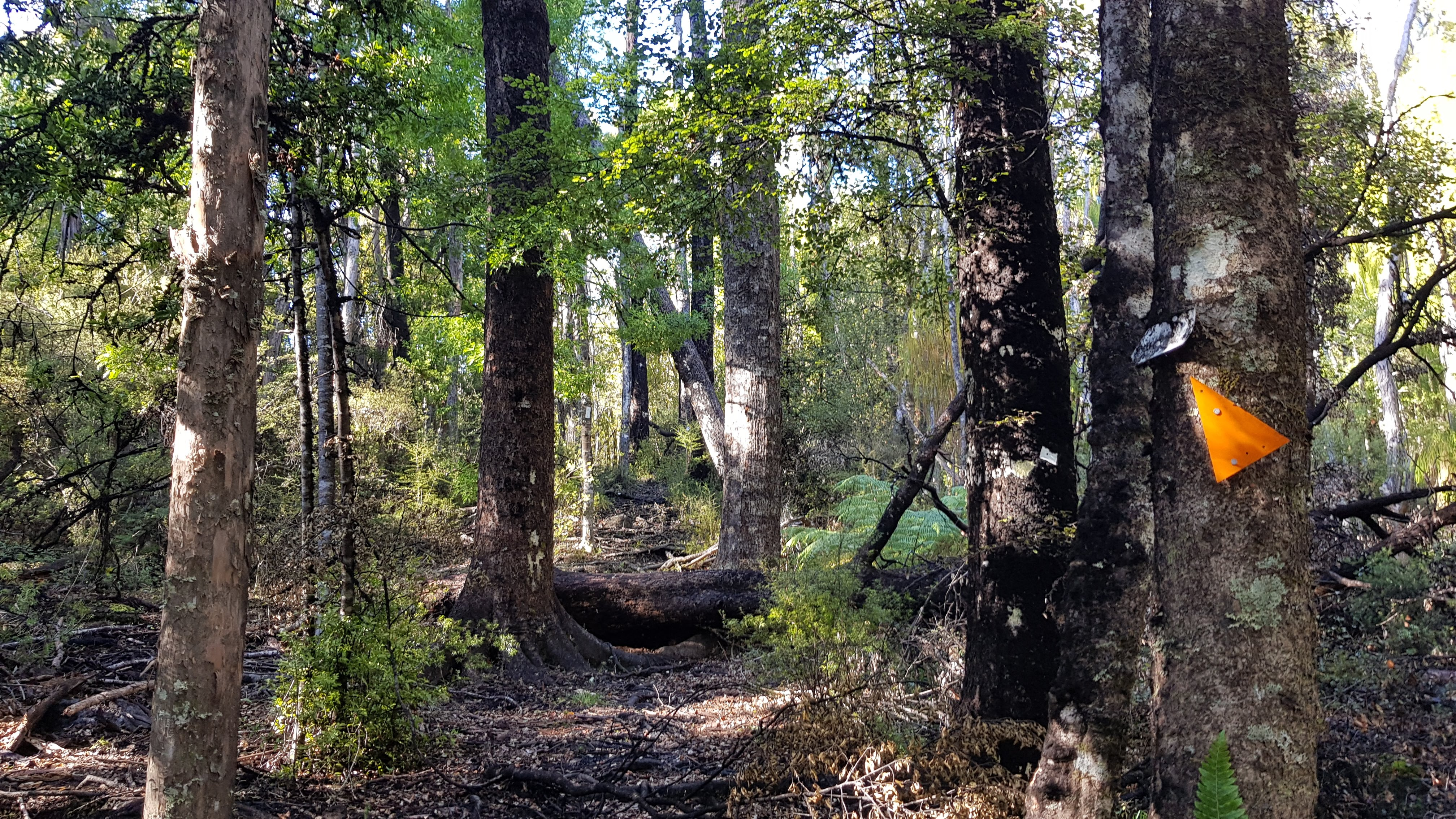 Into the beech forest