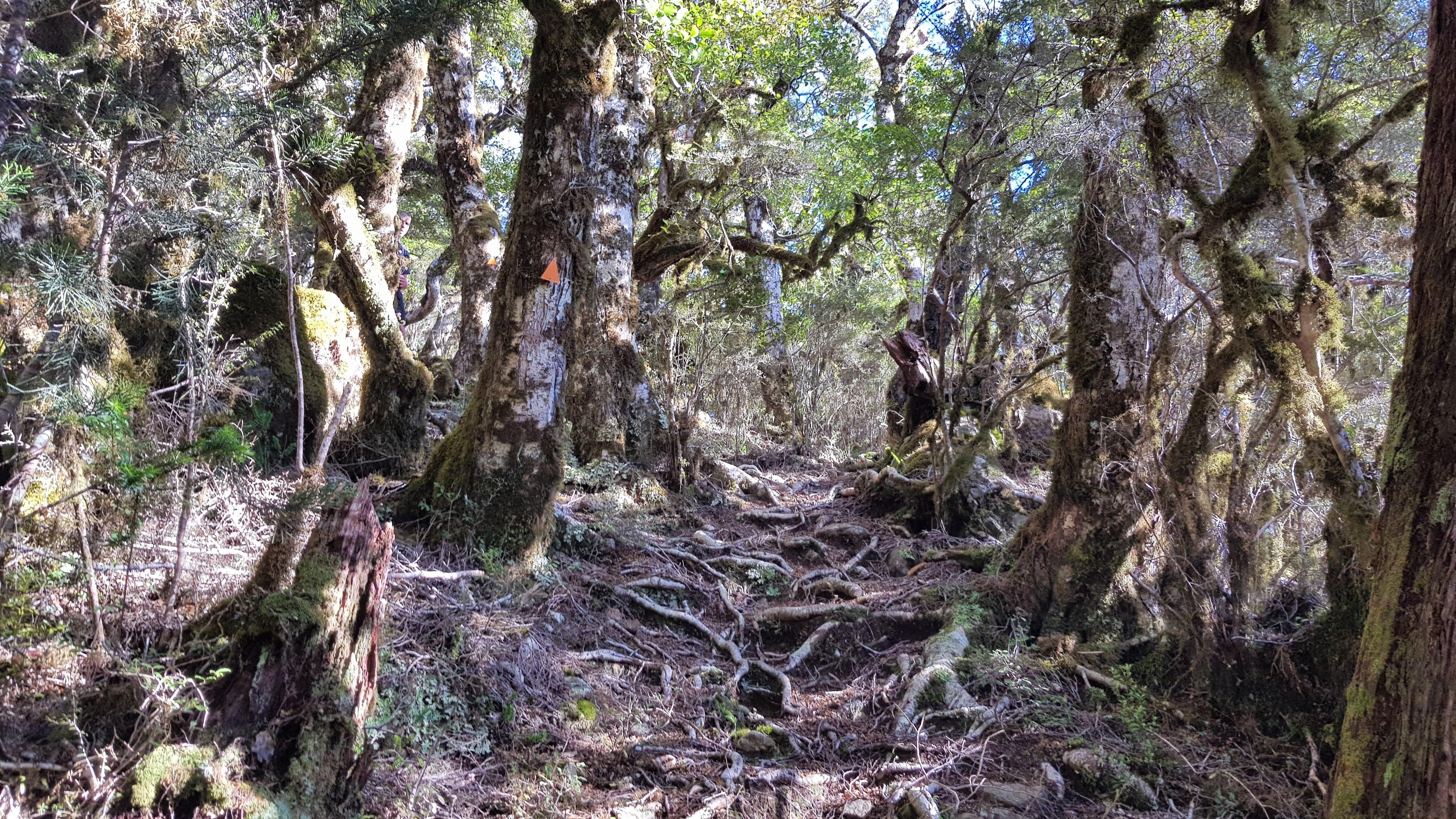 Beech Forest towards Little Twin