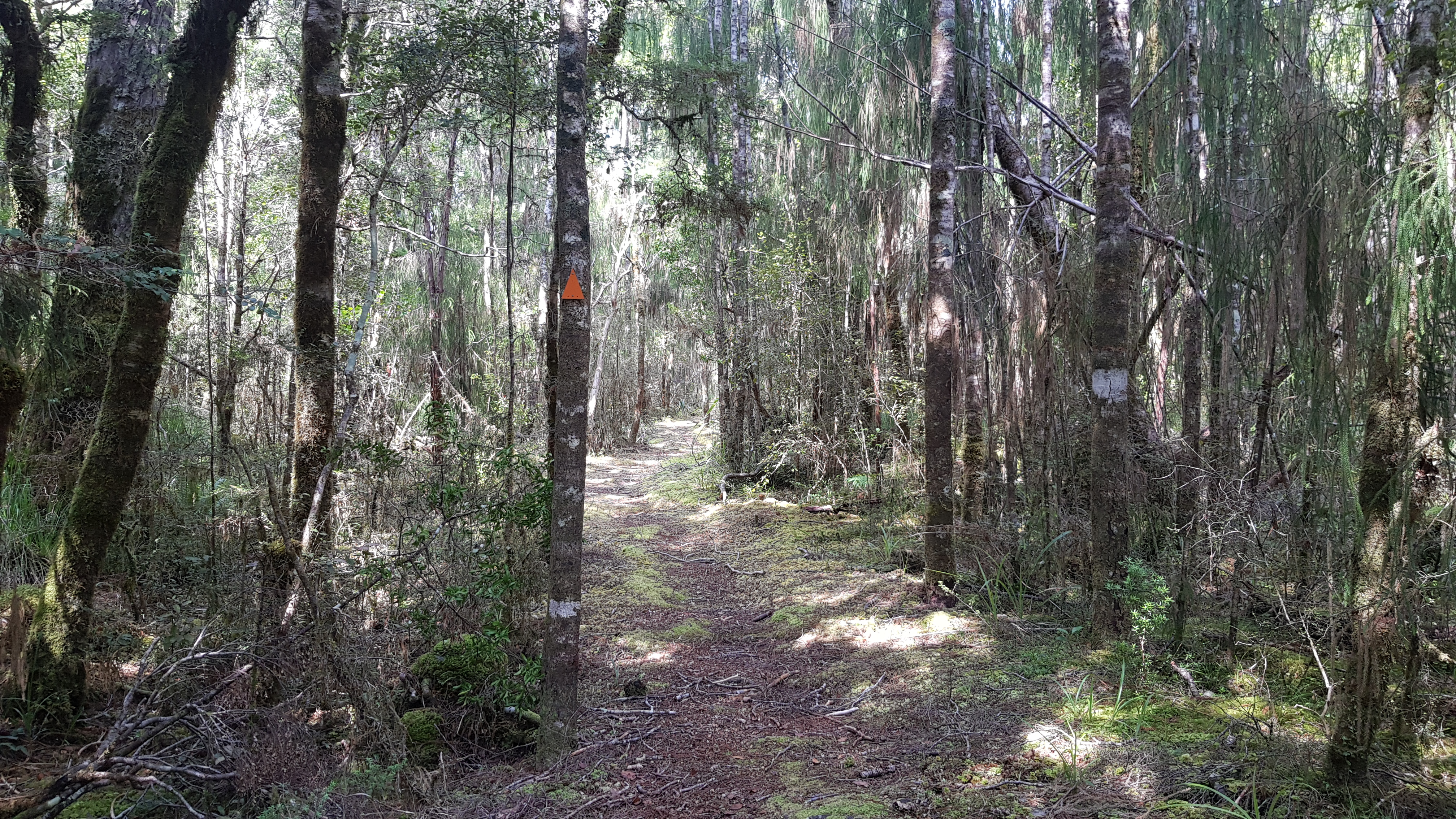 A lovely section of rimu forest
