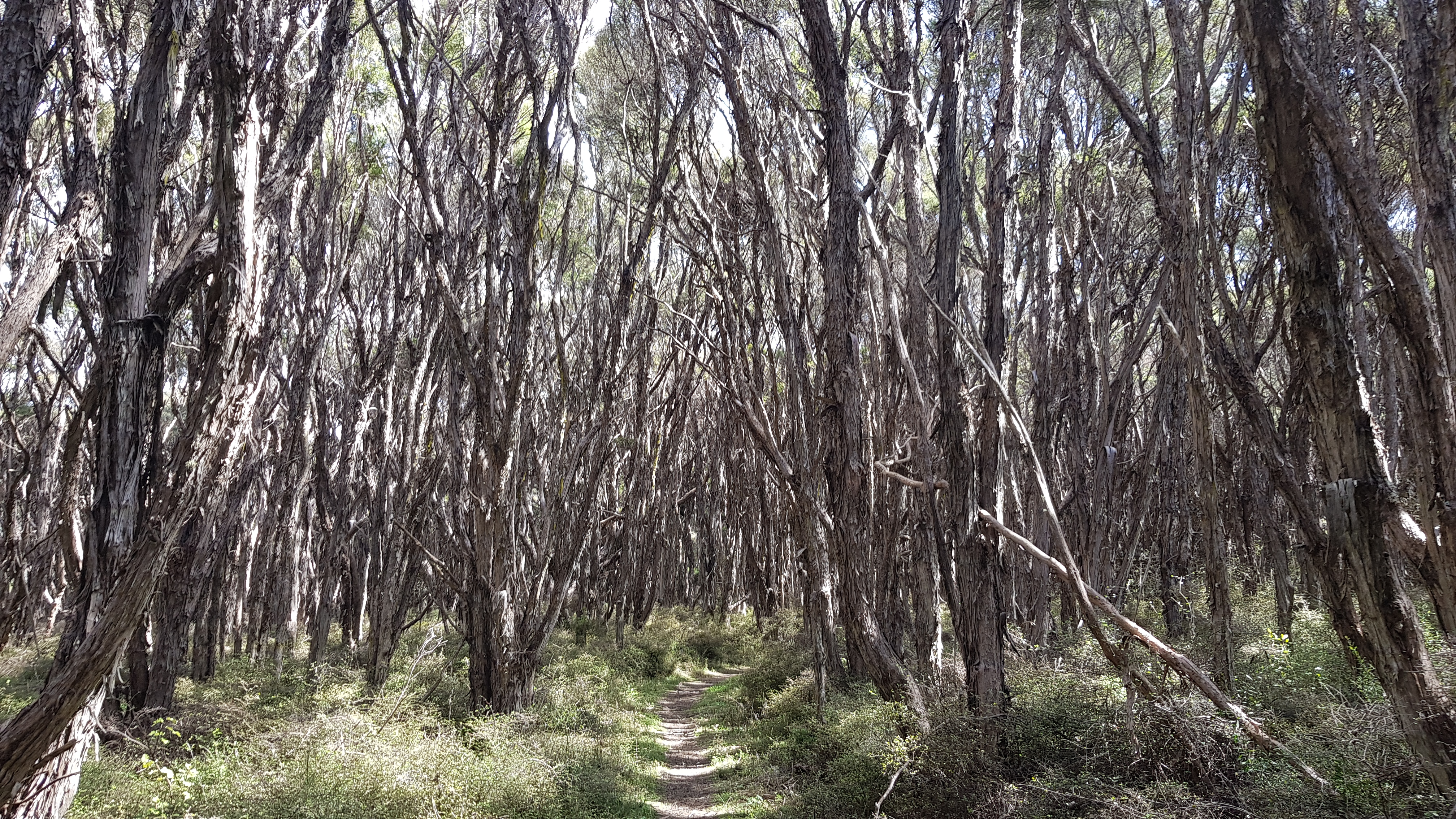 Manuka forest on the Black Birch Track