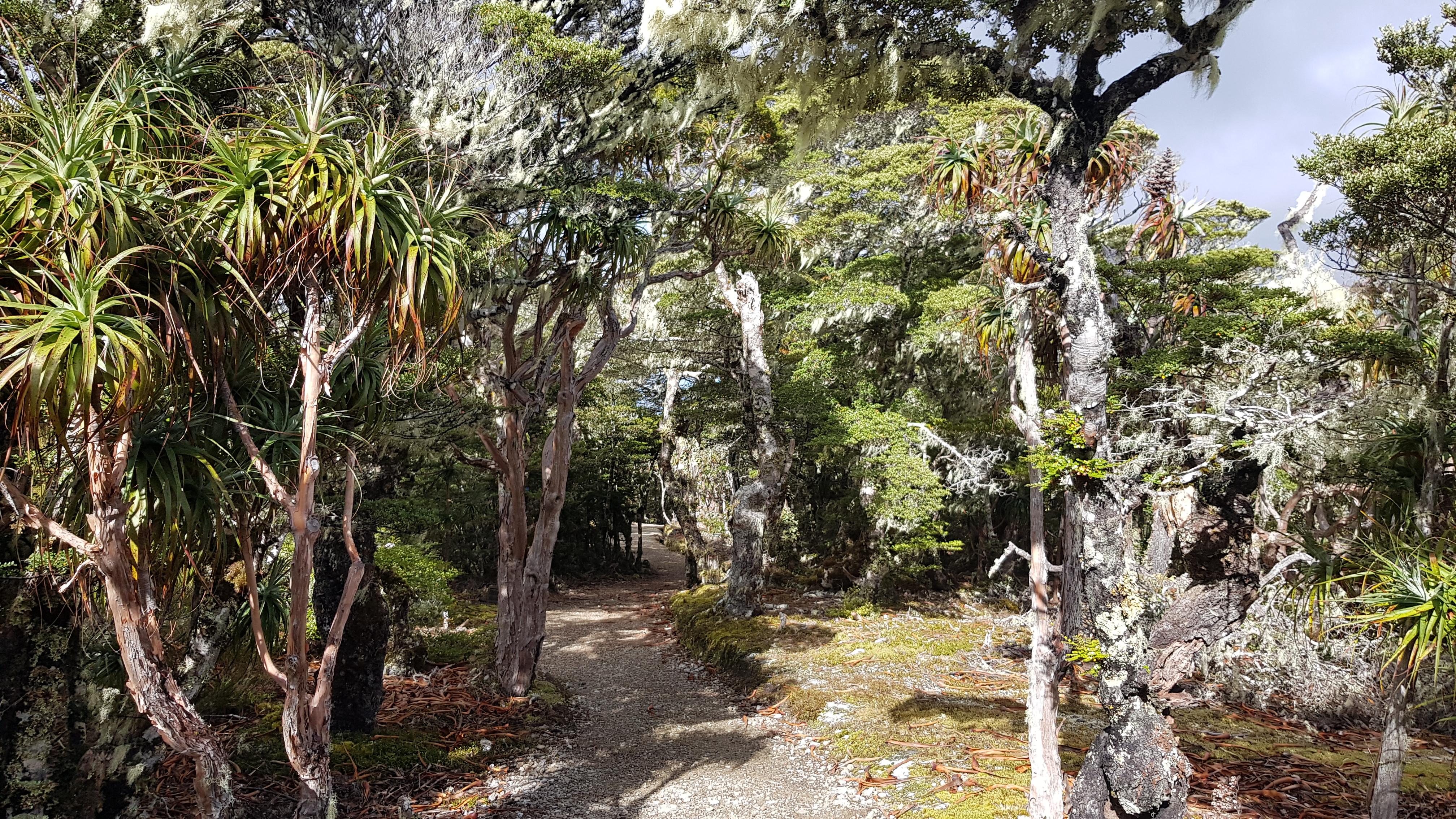Dracophyllum towards Mt Arthur hut